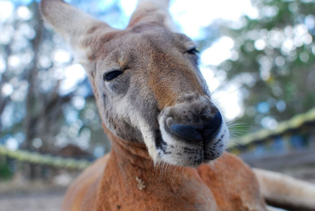 Känguru schaut in Kamera