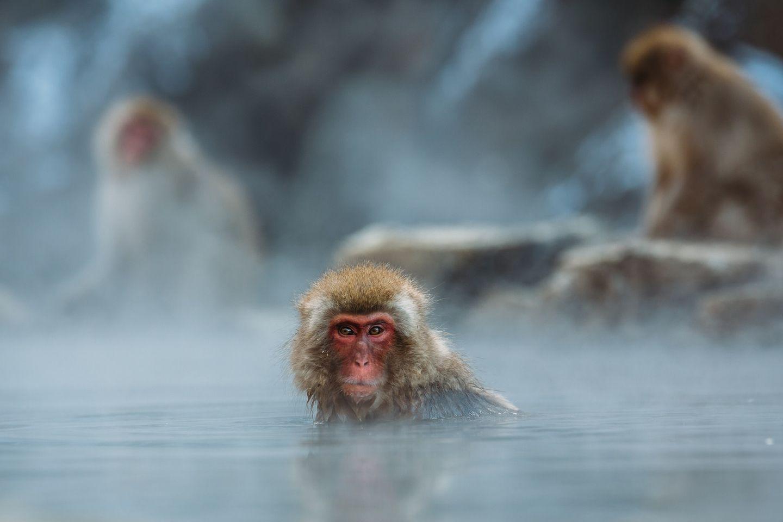 Affe in heißer Quelle in Japan