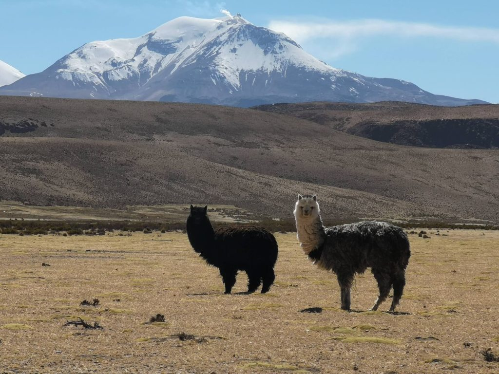 Alpakas bei Work & Travel in Chile