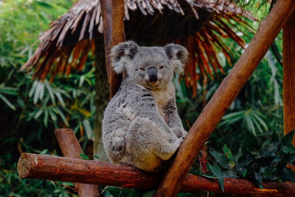 Koala sitzt auf Baum bei Work & Travel in Australien